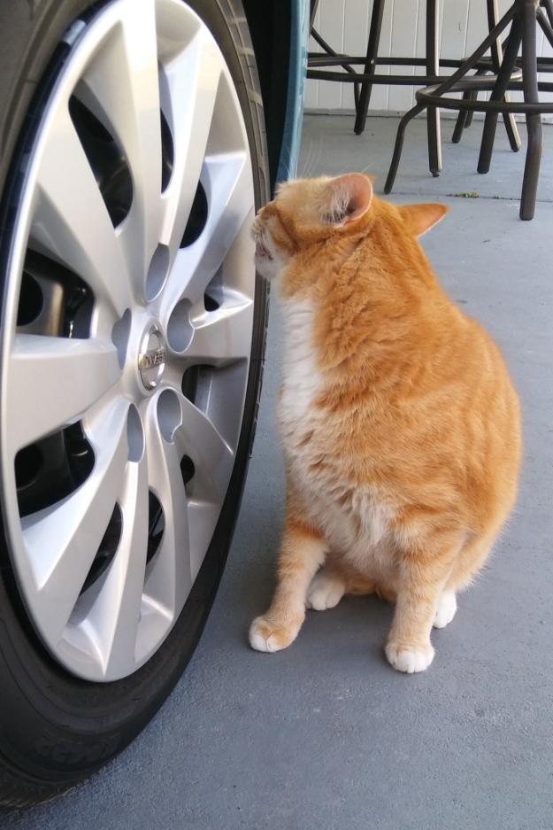 cat Chris smelling tire