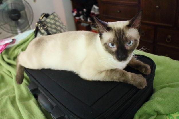 cat on luggage