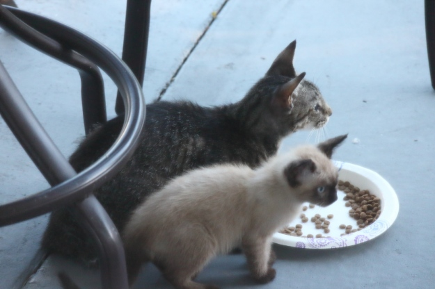 feral tabby cat and Siamese kitten