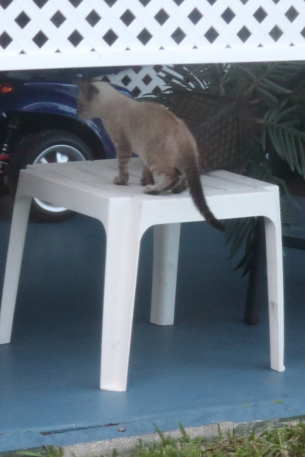 stray Siamese kitten