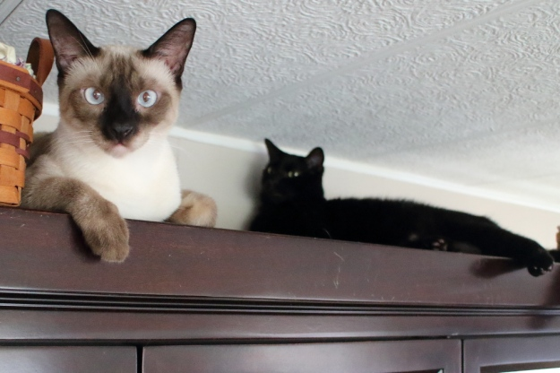 black and Siamese cat on china cabinet