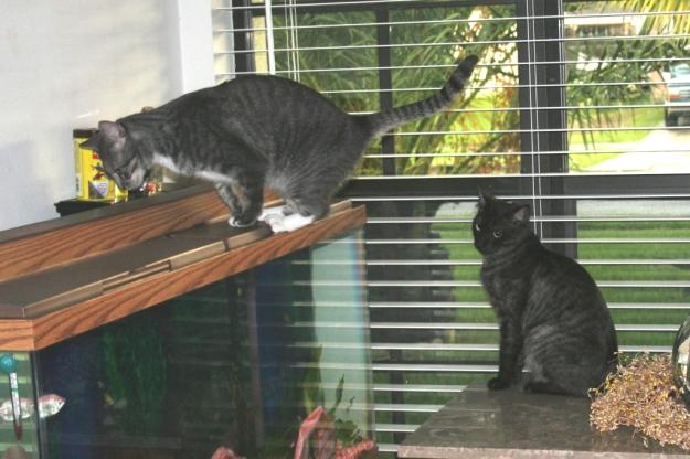cats and fish tank