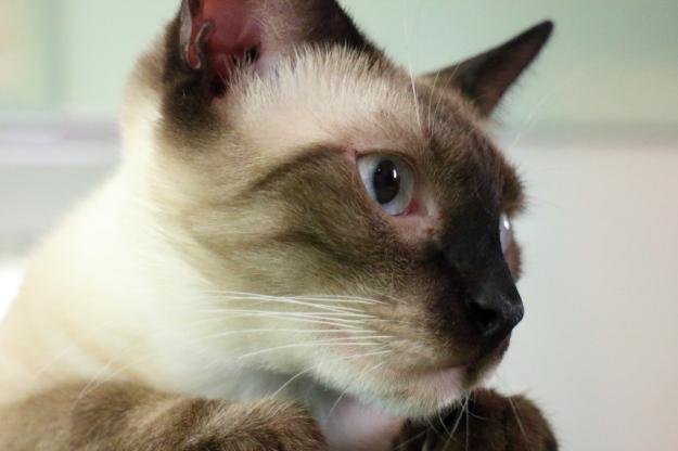 Siamese cat Foki