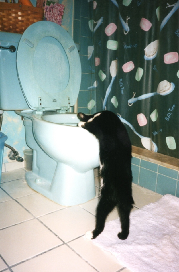 Cat looking in toilet
