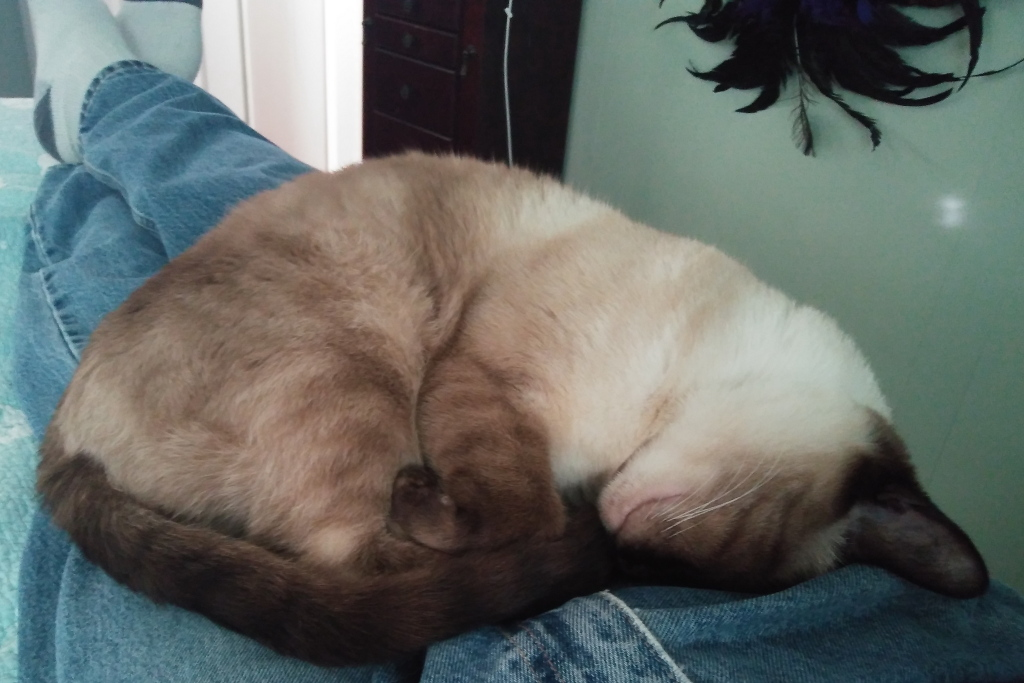 Siamese cat sleeping on lap