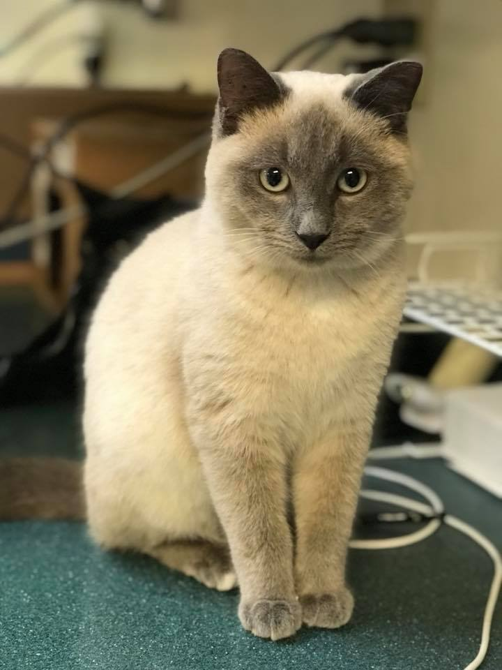 Siamese cat up for adoption