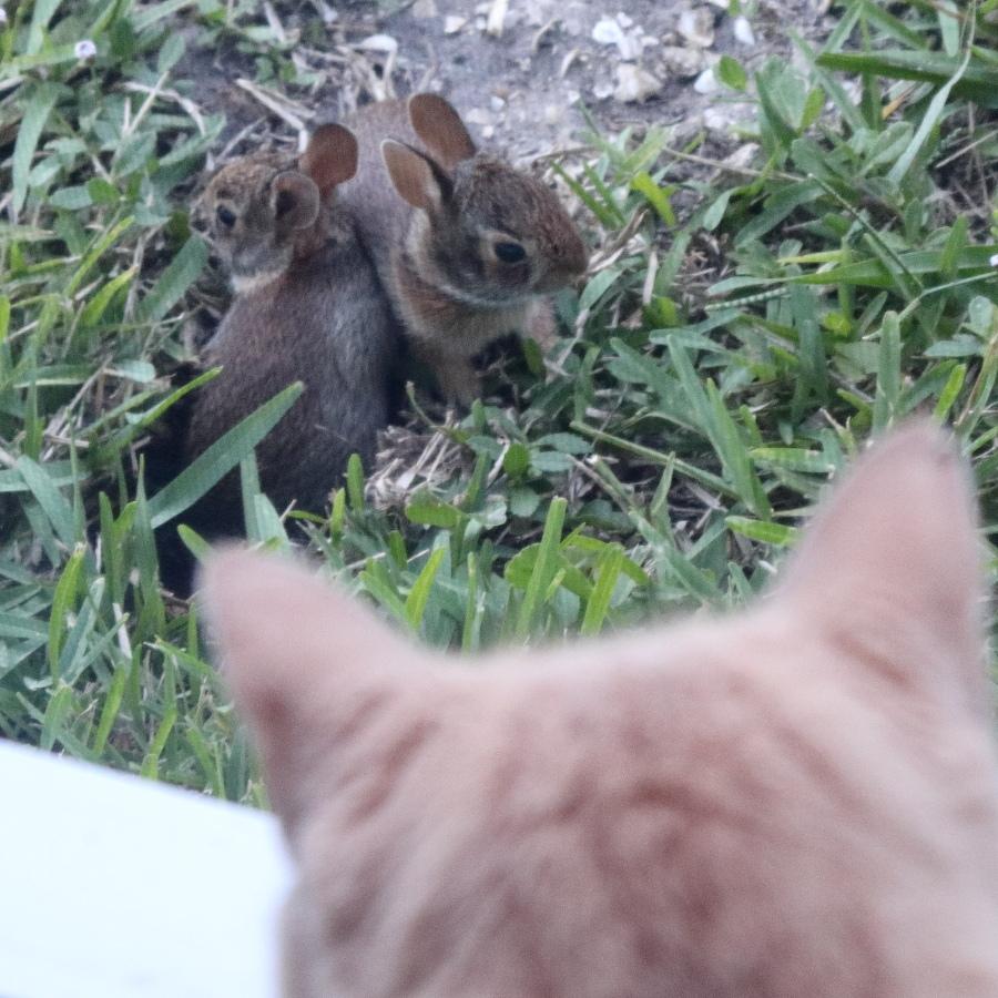 cat looking at baby rabbits