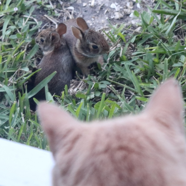 cat looking at baby rabbits