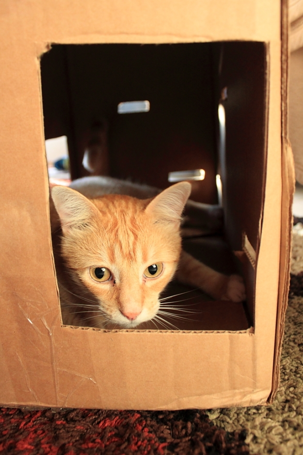 Bad Cat Chris in Fort Box