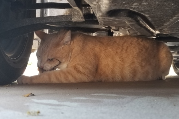 cat Frankie under car with lizard