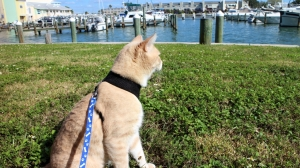 Our cat Frankie on his leash